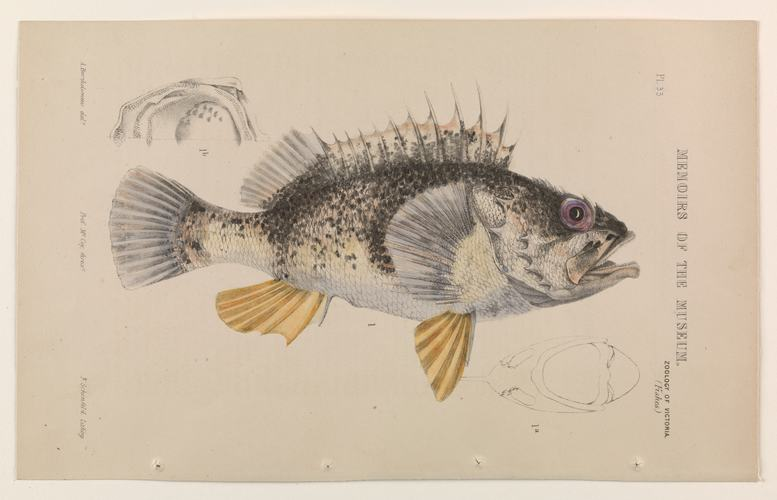 Ocean perch coloured by Theresa Poole