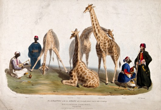 V0023159 Zoological Society of London: three giraffes surrounded by m