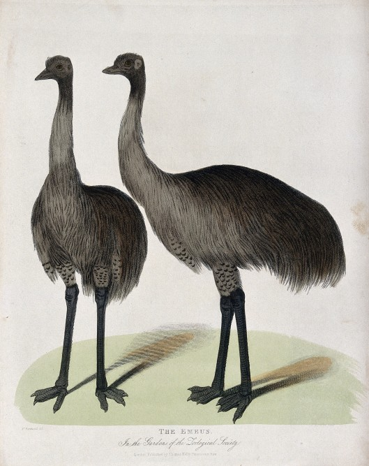 V0023128 Zoological Society of London: two emus. Coloured etching by