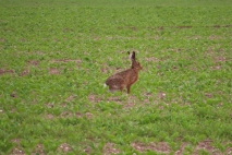 a hare spotted in the evening