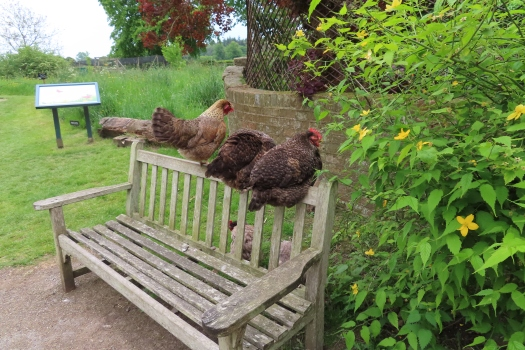 Chooks on a bench near the Mill