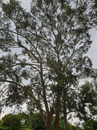 gum trees far from home