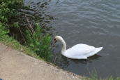 a white swan is unusual for us