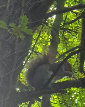 20190527 Holland Park squirrel _094148