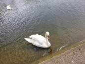 swan on the Serpentine